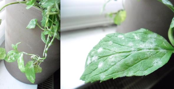 Pflanzen: Weißer Pelz auf Minz-Pflanze, ist das schimmel oder ...