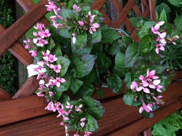 Rosa blüten - (Zimmerpflanzen, Gartenpflanze)