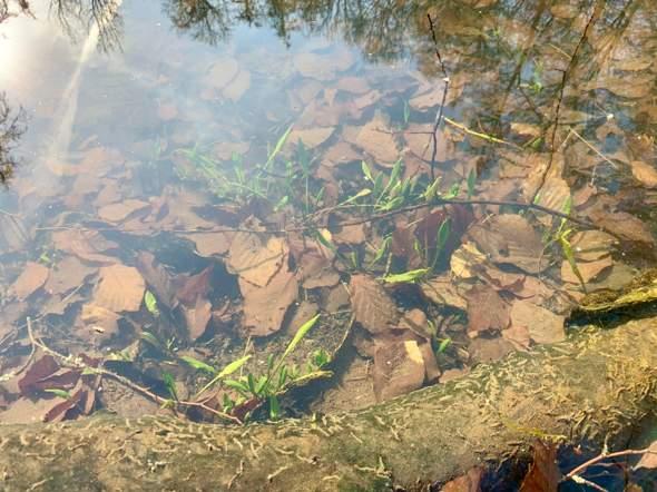 Pflanzenbestimmug - Waldpflanzen im und um ein Teich?