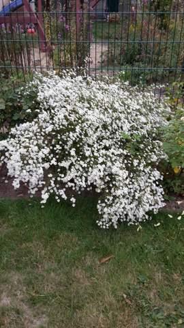 Pflanzenbestimmung: Gartenpflanze, viele weiße Blüten?
