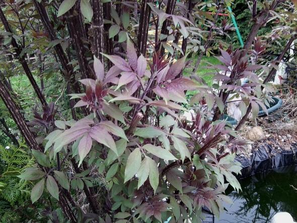 pflanzenbestimmung was ist das f r eine pflanze strauch garten pflanzen entfernen. Black Bedroom Furniture Sets. Home Design Ideas