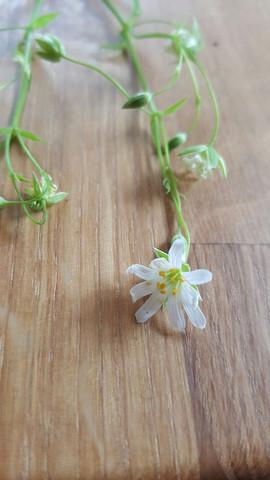 Pflanze 3 Blüte - (Pflanzen, Pflanzenbestimmung)