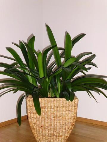 grüne Zimmerpflanze - (Pflanzen, Pflanzenpflege, Zimmerpflanzen)