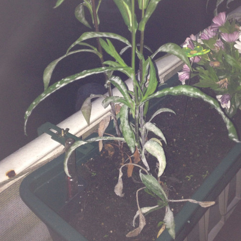 Bild1 - (Garten, Pflanzen, Unkraut)