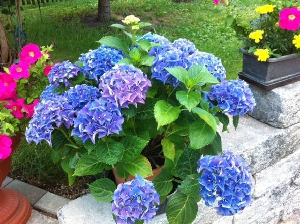 eine richtige Schönheit - (Garten, Blumen, Pflanzenpflege)