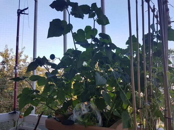 Physalis Blätter schneiden, obwohl sie groß sind?