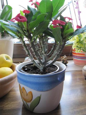 Pieksende Zimmerpflanze, wer kennt sie?