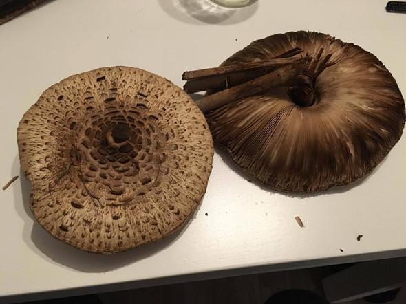 Pilze - (Pilze, giftig)