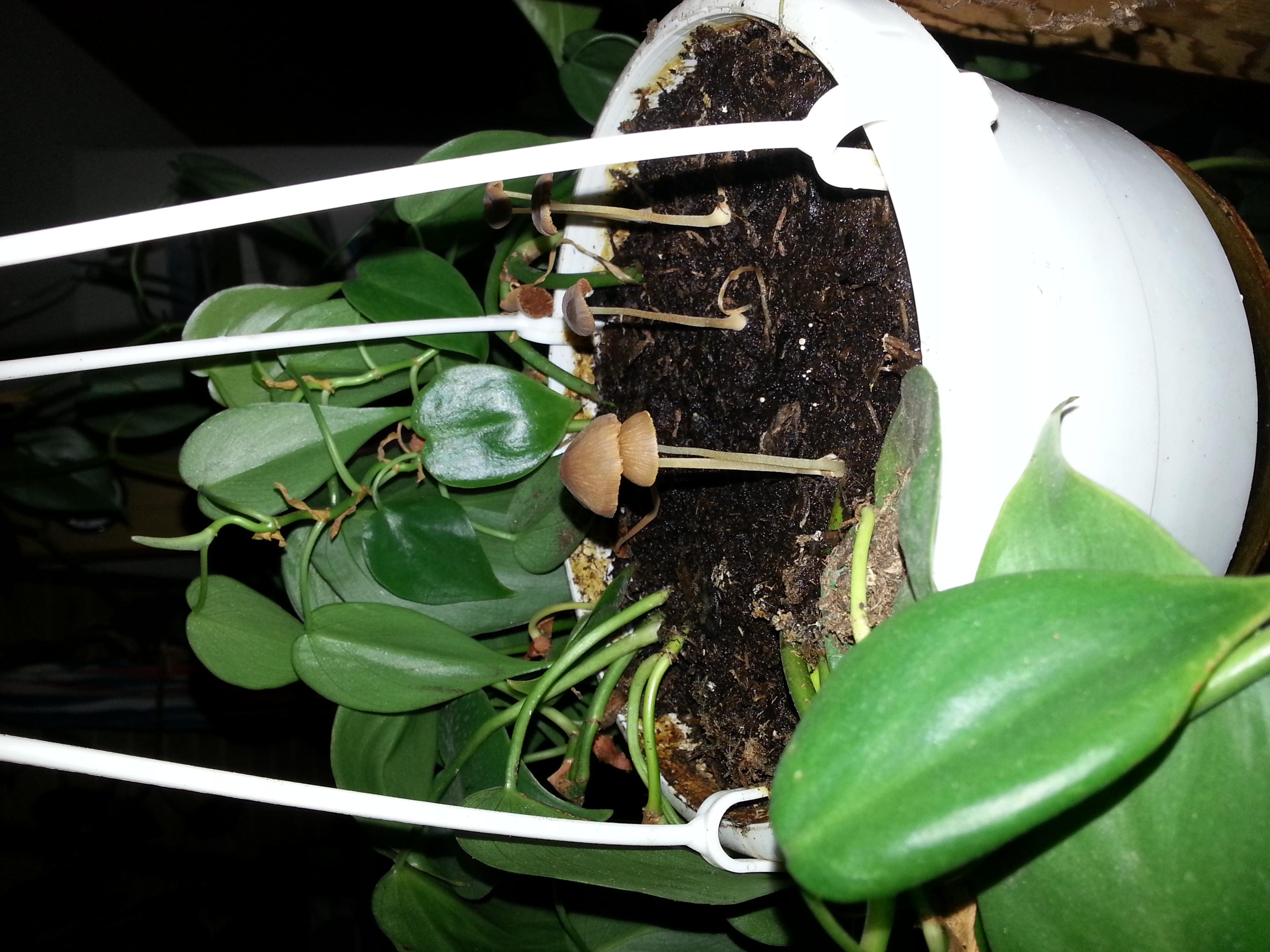 pilz in zimmerpglanze gesundheit pflanzen pilze. Black Bedroom Furniture Sets. Home Design Ideas