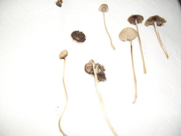 pilze - (Pilze, bestimmen)