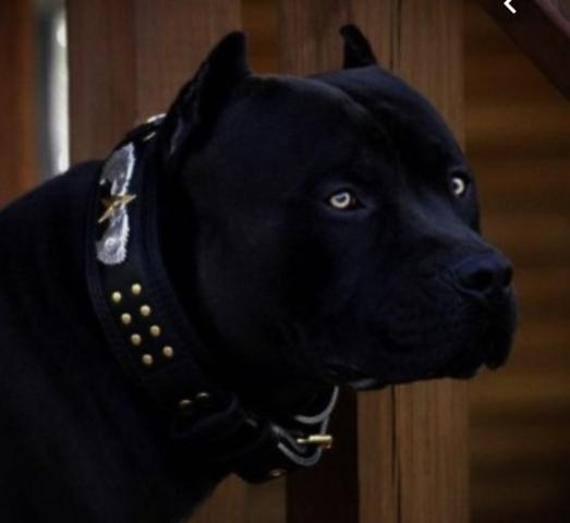 Pitbull Terrier wie findet ihr sein Aussehen und woher kriegt man den selben?