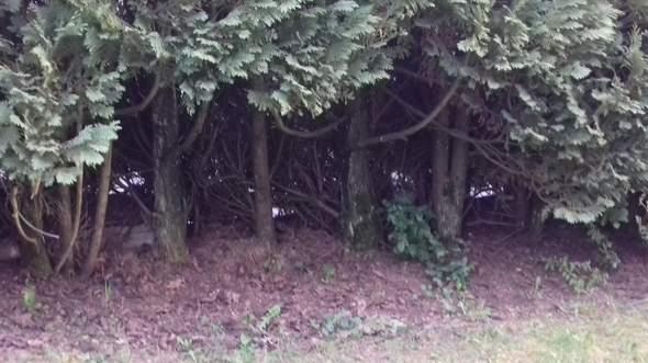 Plötzlich Löcher in den Hecken (siehe Foto)?