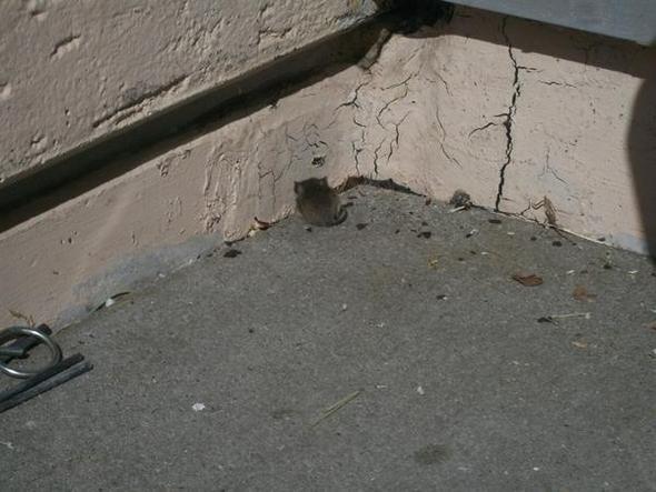 Maus in der Ecke - (Maus, Meerschweinchen, Außenhaltung)