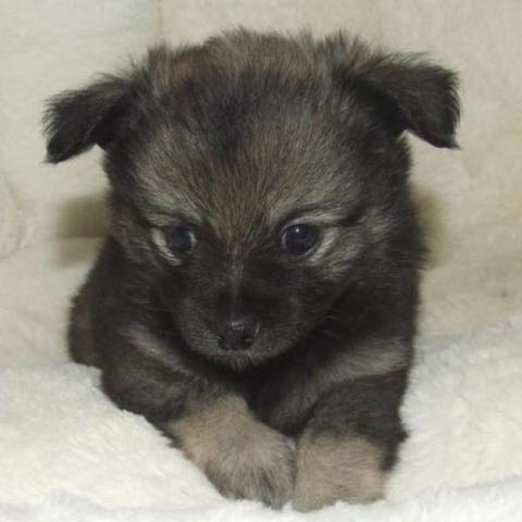 Wo Finde Ich Einen Pomchi Hundemix Hund Munchen Hunderasse