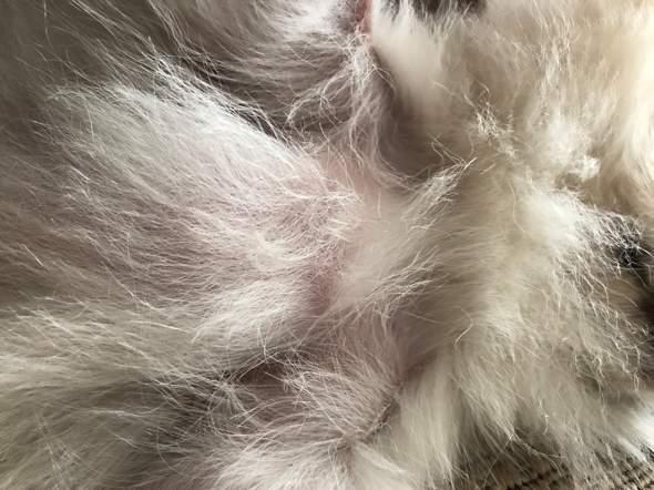 Pomeranian brust kahle stellen?