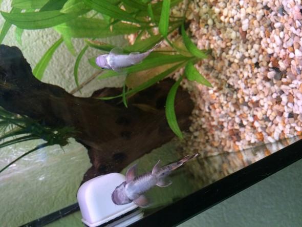 Hier beide von unten - (Aquarium, Fischkenntniss)