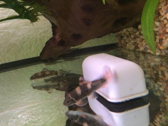 Hier beide seitlich - (Aquarium, Fischkenntniss)