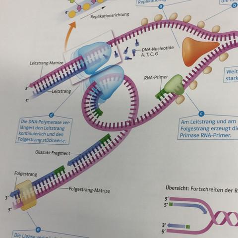 Am Leitstrang und am Folgestrang erzeugt die Primase RNA Primer - (Schule, Biologie, Primer)