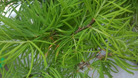 Bild 1 - (Pflanzen, Bonsai, Lärche)