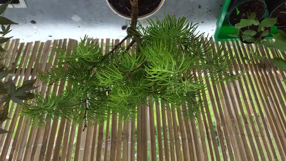 Bild 2 - (Pflanzen, Bonsai, Lärche)