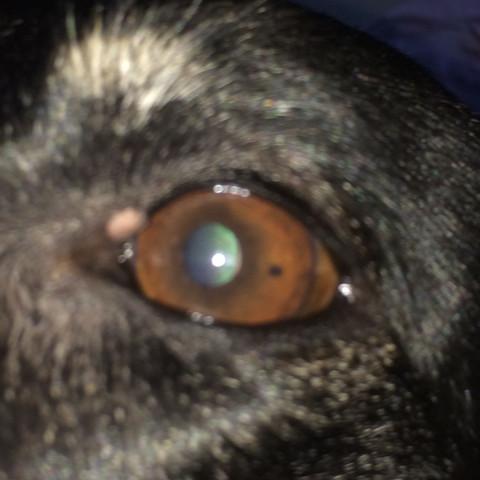 Hund hat kleinen Punkt im Auge  - (Tiere, Hund, Augen)