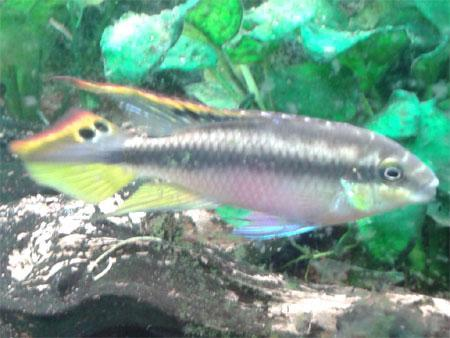 Unser Purpurprachtbarsch-Männchen - (Aquarium, Zierfische, Purpurprachtbarsche)