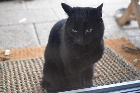 Rassenbestimmung Schwarze Katze Mit Kurzen Haaren Und Grunen