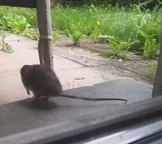 Ratte im Garten? Was nun?
