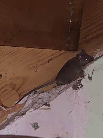 - (Tiere, Maus, Ratten)