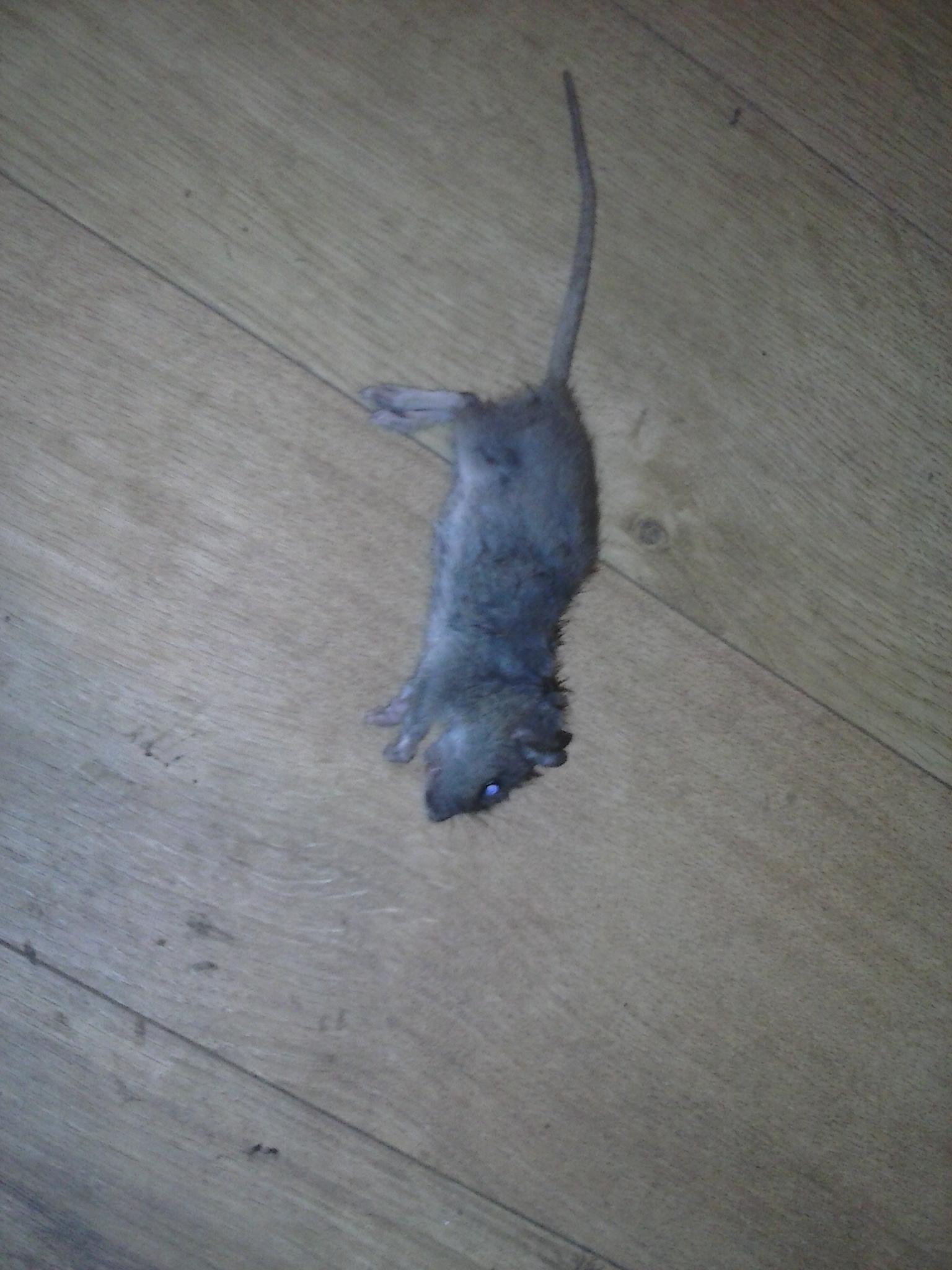 ratte oder maus hilfe ratten sch dlinge nager. Black Bedroom Furniture Sets. Home Design Ideas