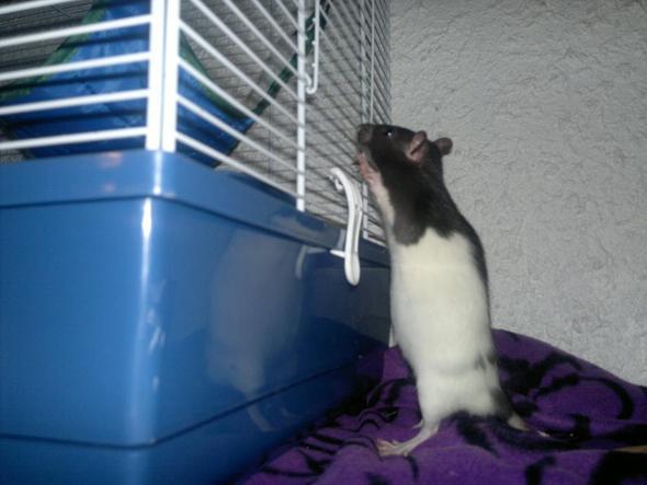 .. - (schwanger, Ratten)