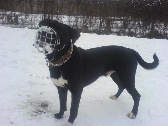 Bebe 2 - (Hund, Labrador, pitbull)