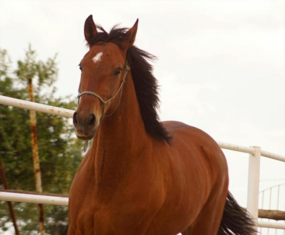 - (Pferde, Reiten, Spanien)