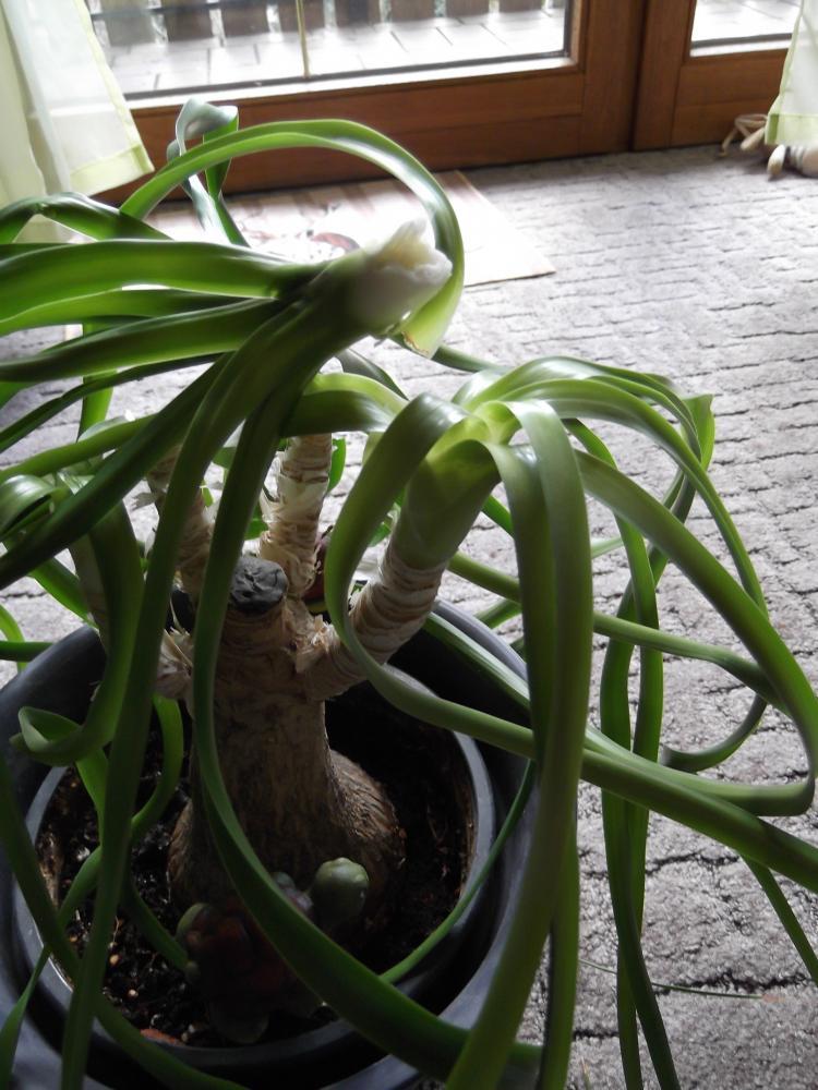 rettung f r meinen elefantenfu pflanzen pflanzenpflege zimmerpflanzen. Black Bedroom Furniture Sets. Home Design Ideas