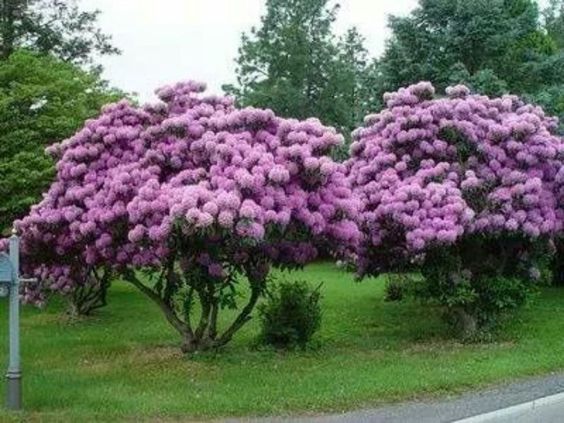Rhododendron in schirmform - (Garten, rueckschnitt, Rhododendron)