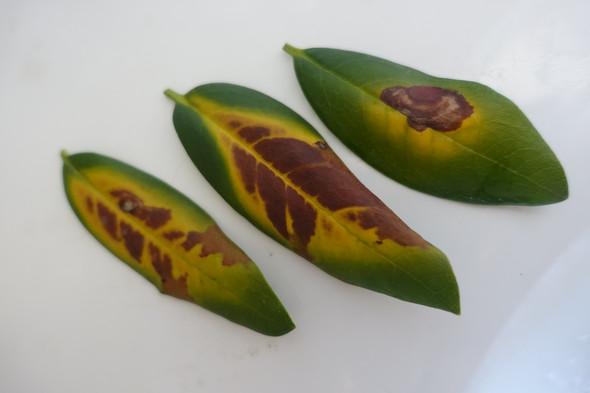 Rhododendron-Krankheit? (Garten, Pflanzenpflege
