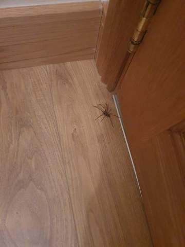 Riesige Spinne im Zimmer?