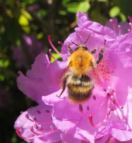 Riesige Wildbiene, schlanke Hummel?