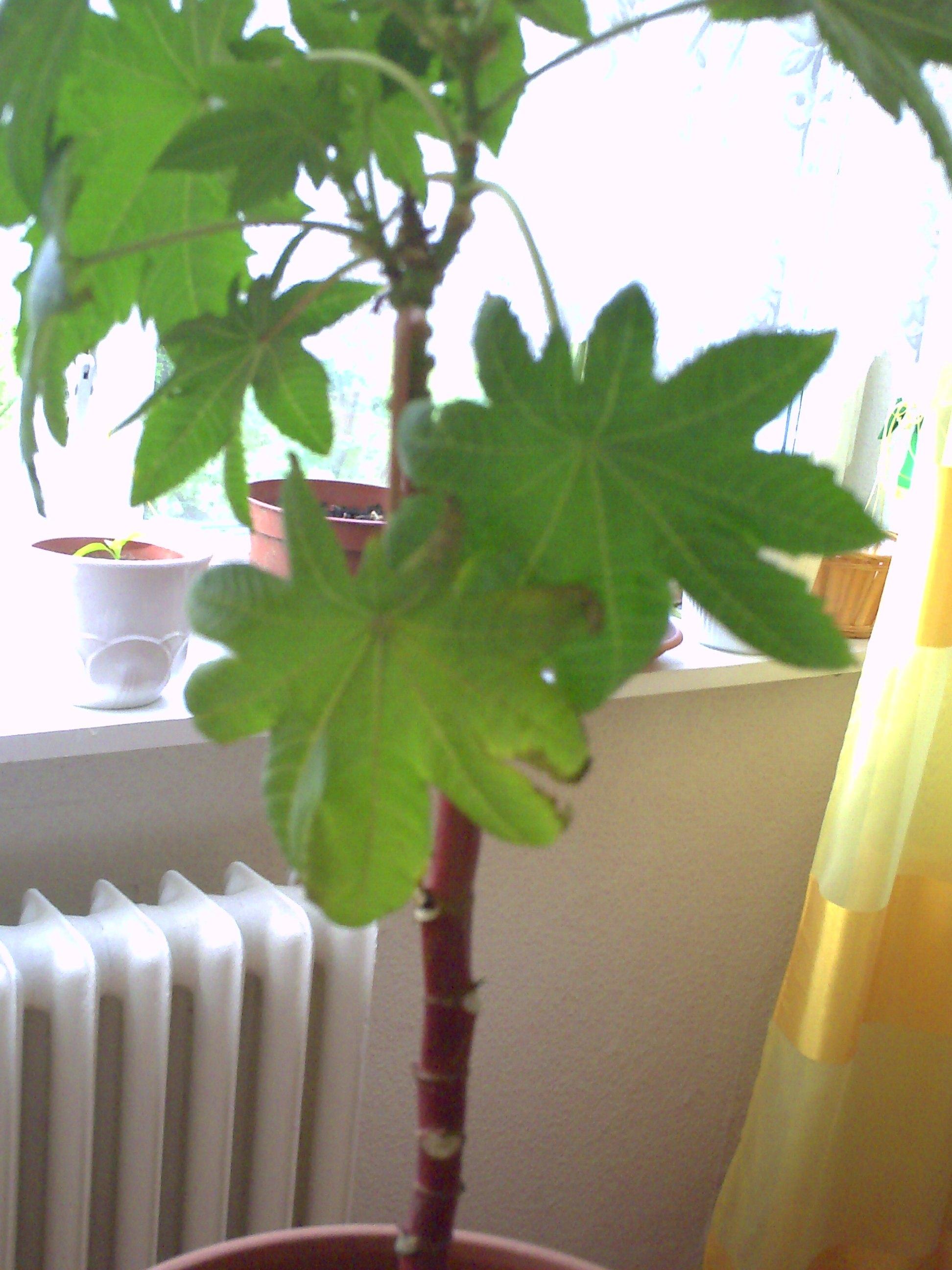 rizinuspflanze vom vorjahr gerettet jetzt fallen bl tter. Black Bedroom Furniture Sets. Home Design Ideas