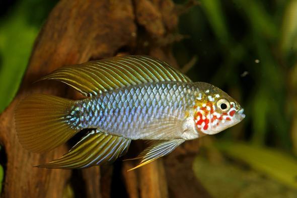 robuste zwerbuntbarsche apistobramma borelli fische