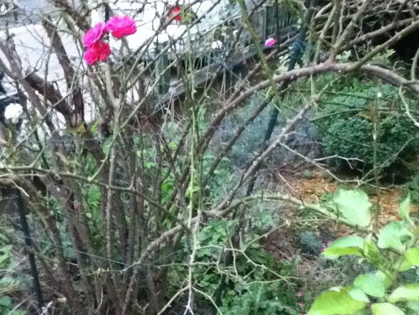 Bild 2 - (Garten, Pflanzen, Rosen)
