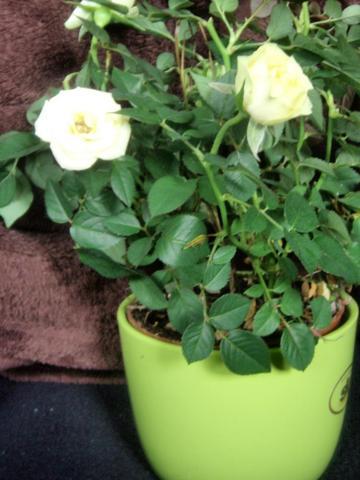 Rose - (Garten, Rosen)