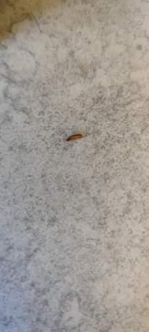 Rot braune Würmer in der Küche?