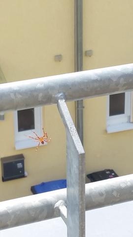 Rot gelb gestreifte Spinne was ist das für eine?
