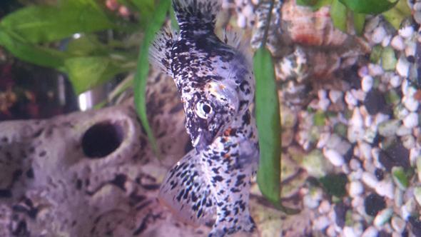2 meiner Mollys - (Krankheit, Fische, Aquarium)
