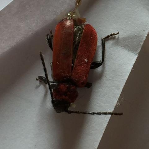 Sie sind ca. 1 - 2 cm groß  - (Haus, Insekten, Kaefer)