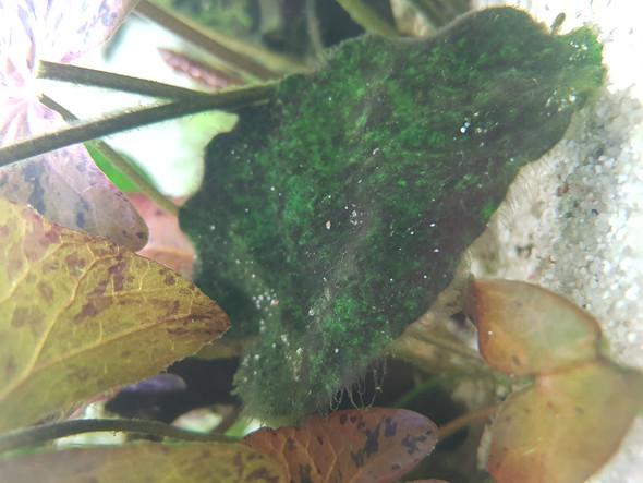 - (Aquarium, Aquaristik, Algen)