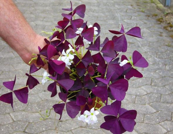 Roter Zierklee giftig für Katzen? (Pflanzen, Verträglichkeit) ~ 02055936_Sukkulenten Für Katzen Giftig