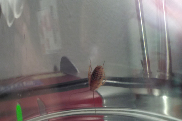 Schabe Kafer Insekt Schadlich Oder Unschadlich Biologie Insekten