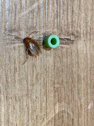 Schabe oder Käfer?
